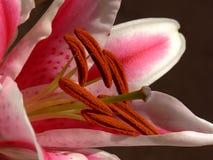 lily w środku fotografia royalty free