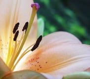 lily w środku Obrazy Stock