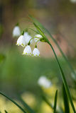 Lily of the walley. The flower lily of the walley stock photography