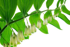 Lily of the walley Royalty Free Stock Photography