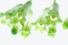 Lily of the walley Royalty Free Stock Photo
