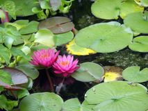 Lily on Water. Lily Pads and Water Lilies in a Pond Stock Photography