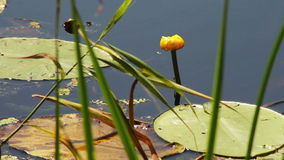 Lily and water lily in the river stock footage
