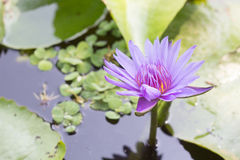 Lily Water. In the pond Stock Images