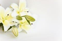 lily white Fotografia Royalty Free