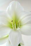lily white Zdjęcia Royalty Free