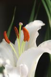 lily white Obrazy Royalty Free
