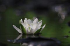 Lily white autumn pond Royalty Free Stock Photos