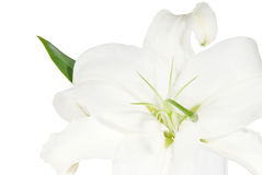 Lily on a white background Royalty Free Stock Photography
