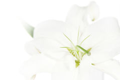 Lily on a white background Royalty Free Stock Photos