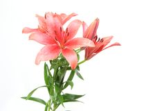 Lily in a white background. Pictured lily in a white background Royalty Free Stock Photography