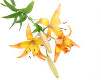 Lily in a white background. Pictured  lilies in a white background Stock Photo
