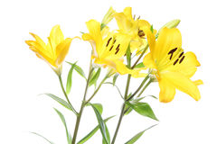 Lily in a white background. Pictured  lilies in a white background Royalty Free Stock Photography