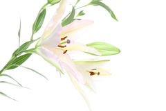 Lily in a white background. Pictured  lilies in a white background Royalty Free Stock Photos