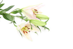 Lily in a white background. Pictured  lilies in a white background Royalty Free Stock Photo