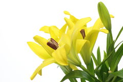 Lily in a white background. Pictured yellow lily in a white background Royalty Free Stock Image