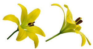 Lily in a white background. Pictured yellow lily in a white background Stock Images