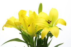 Lily in a white background. Pictured yellow lilies in a white background Royalty Free Stock Photography