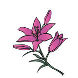 Lily on white background. Royalty Free Stock Photo