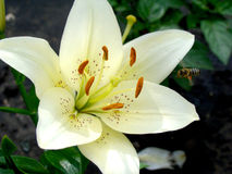 Lily. White growing in nature blooms in summer Royalty Free Stock Photo