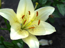 Lily. White growing in nature blooms in summer Stock Photos