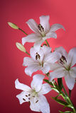 Lily. White lily isolated on red Royalty Free Stock Photography