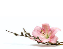 lily white odosobnione kwiat Obraz Stock