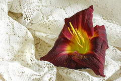 Lily on White. Red day lily on white lace royalty free stock images