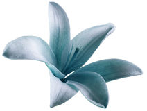 Lily white tuequoise flower.  isolated  with clipping path on a white background. beautiful lily.  for design. Royalty Free Stock Photo