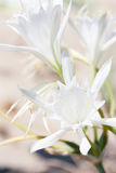 Lily white wild Royalty Free Stock Photos