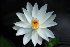 lily white wody Zdjęcia Stock