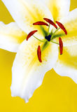 Lily. Royalty Free Stock Photo
