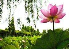lily świetle wody Obrazy Royalty Free
