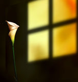 Lily by the window Royalty Free Stock Image