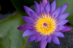 lily wody Fotografia Stock