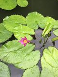 lily wody zdjęcia stock
