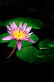 lily wody Zdjęcie Royalty Free