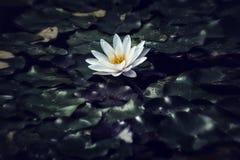 lily wody Zdjęcia Royalty Free