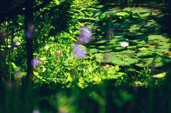 lily wody Obrazy Royalty Free