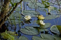 lily wody obraz royalty free