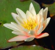 lily wody Grzybienia obrazy royalty free