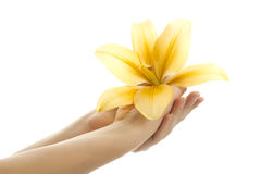 Lily in woman hand. Royalty Free Stock Photography