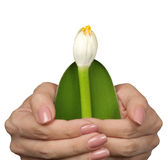 Lily in women's hands. Blooming lily in female hands isolated on white Royalty Free Stock Image