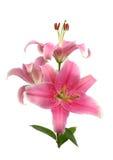 lily wschodniej. obrazy royalty free