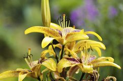 Lily yellow brown close up Stock Photo
