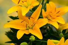 Lily yellow flower with buds on a gray background. Royalty Free Stock Photos