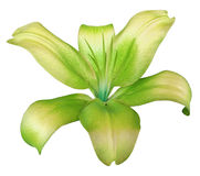 Lily yellow-green flower, isolated  with clipping path, on a white background. beautiful lily, transparent turquoise center. for d Stock Images