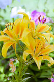 Lily. Yellow lilies are so beautiful Royalty Free Stock Image