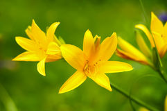 Lily yellow, orange on a green background Royalty Free Stock Images