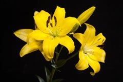 Lily Yellow Still livskytte Royaltyfria Bilder